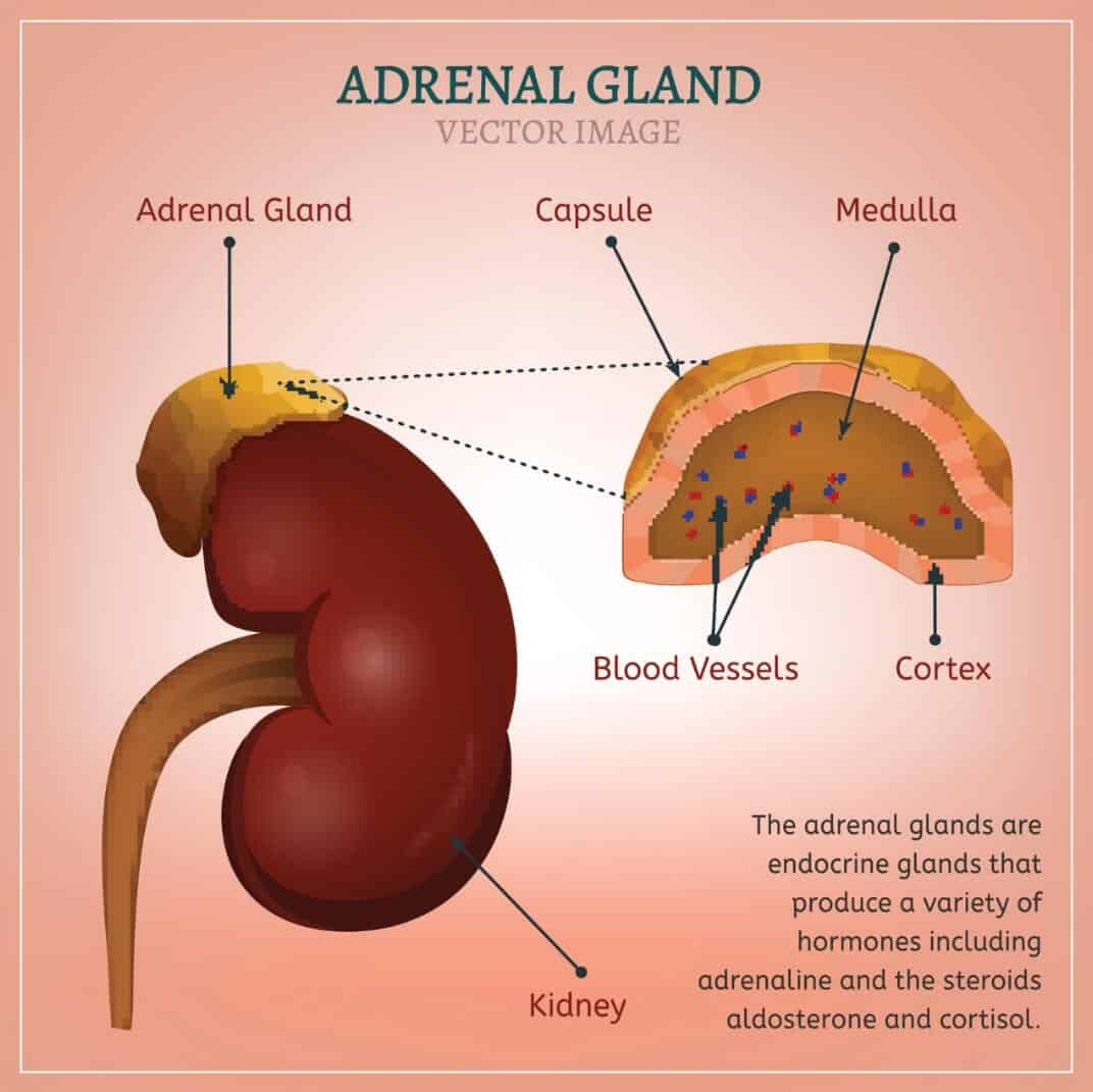 Adrenal Gland: Is Adrenal Fatigue Real? (UPDATE: 2017
