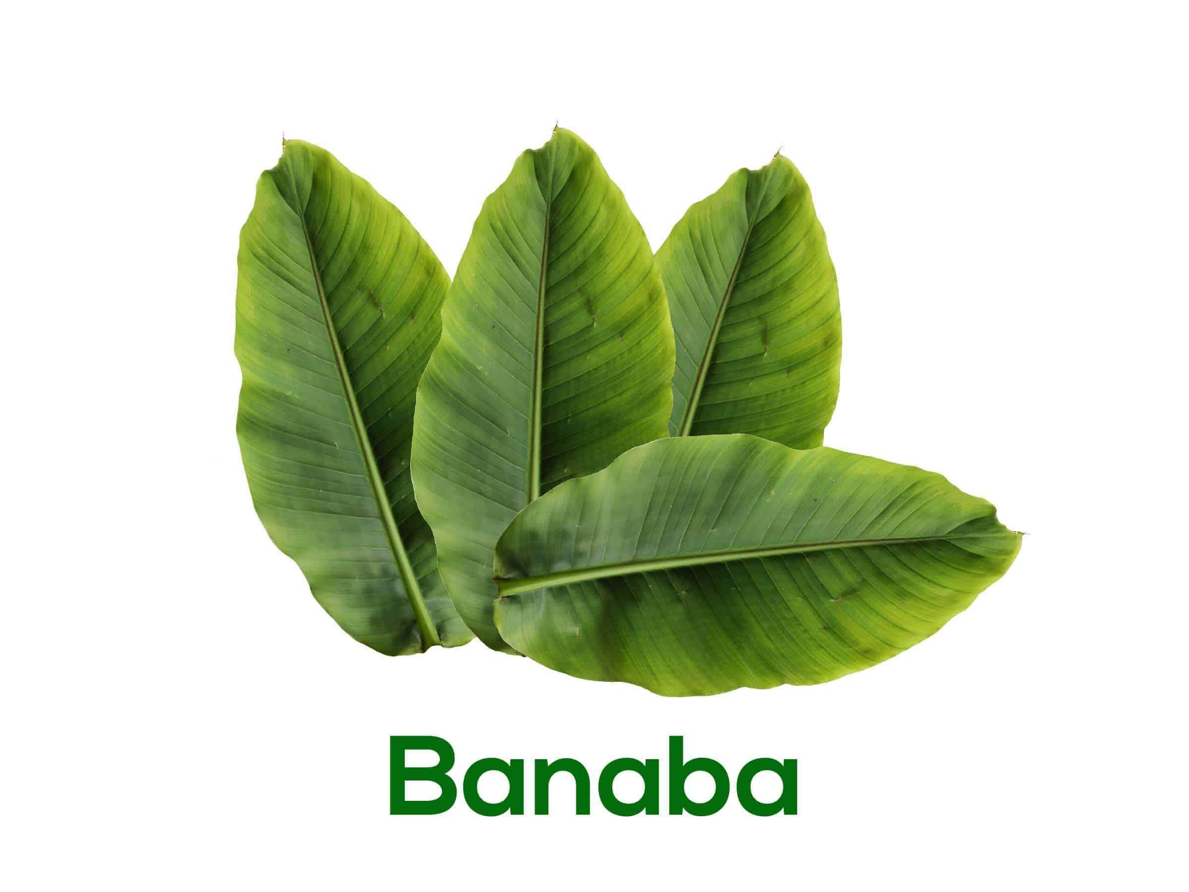 Banaba leaf benefits