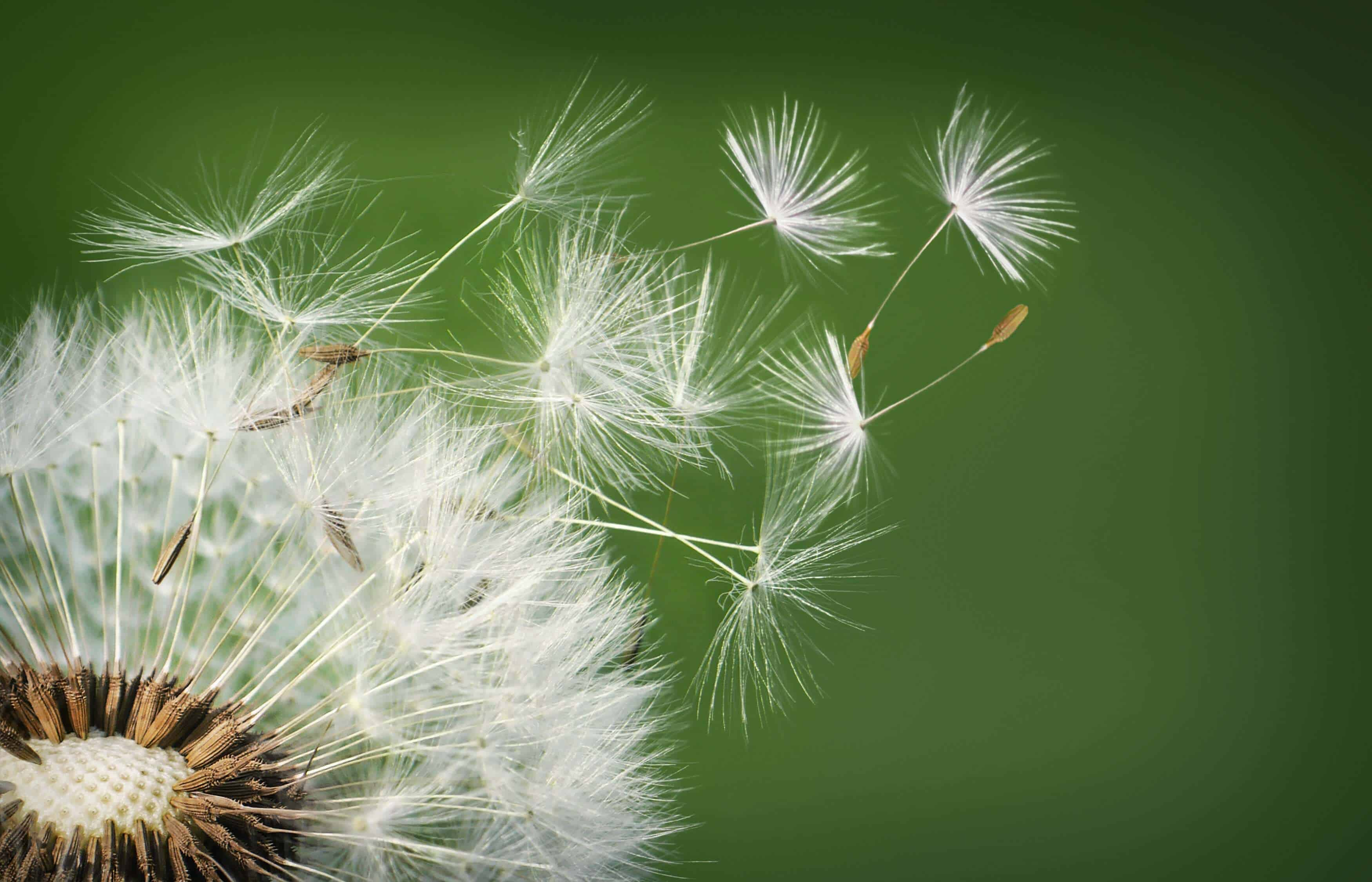 how to clean dandelion roots