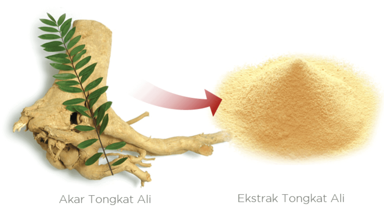 tongkat ali Where to buy tongkat ali before buying any tongkat ali product, here is 7 popular range of tongkat ali product you can choose tongkat ali is a traditional medicinal plant used by the orang asli for hundreds of years in malay peninsula scientific known as eurycoma longifolia (longjack.
