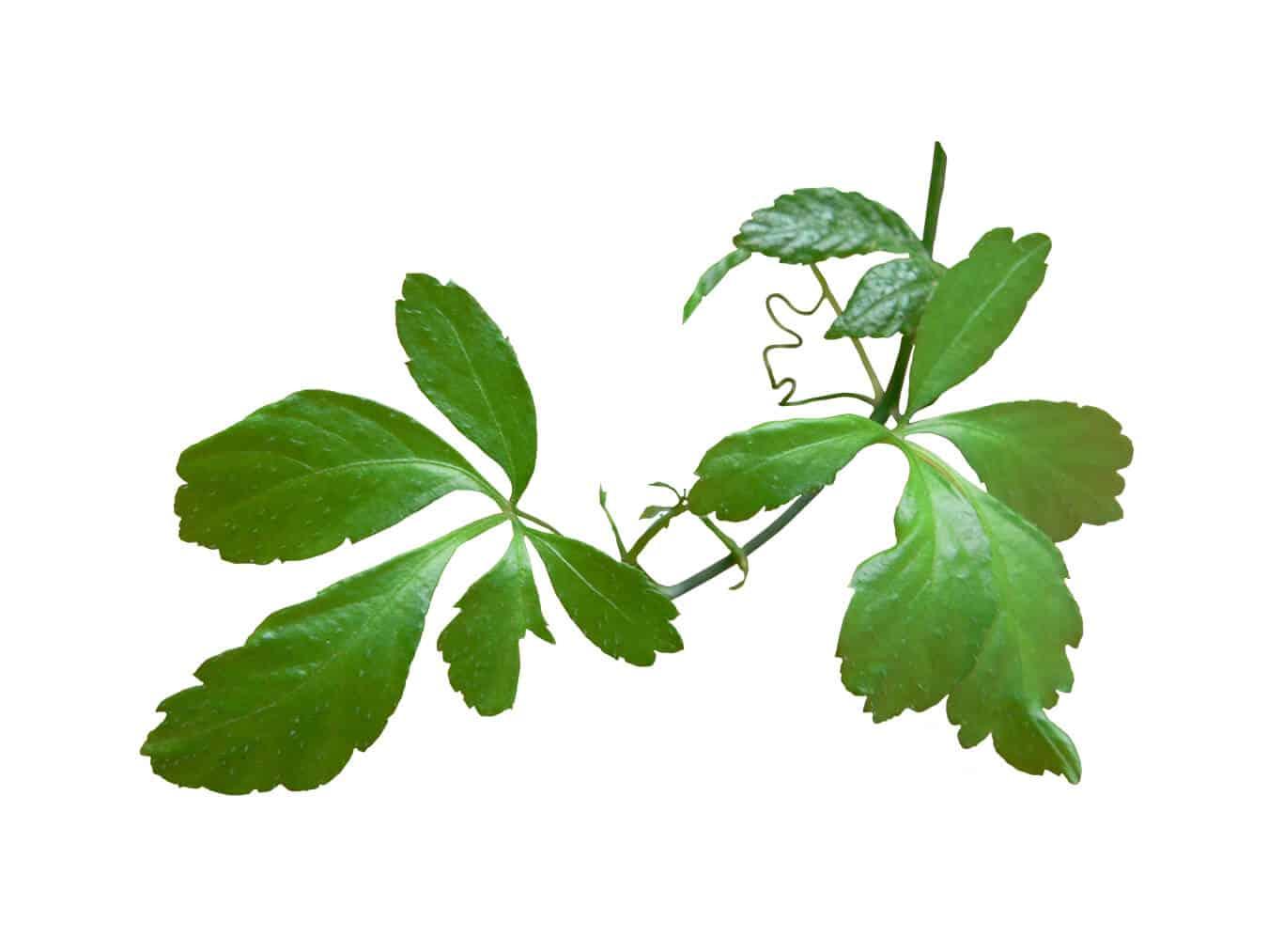 Gynostemma – Nature's Powerful Herbal Medicine (UPDATE ...