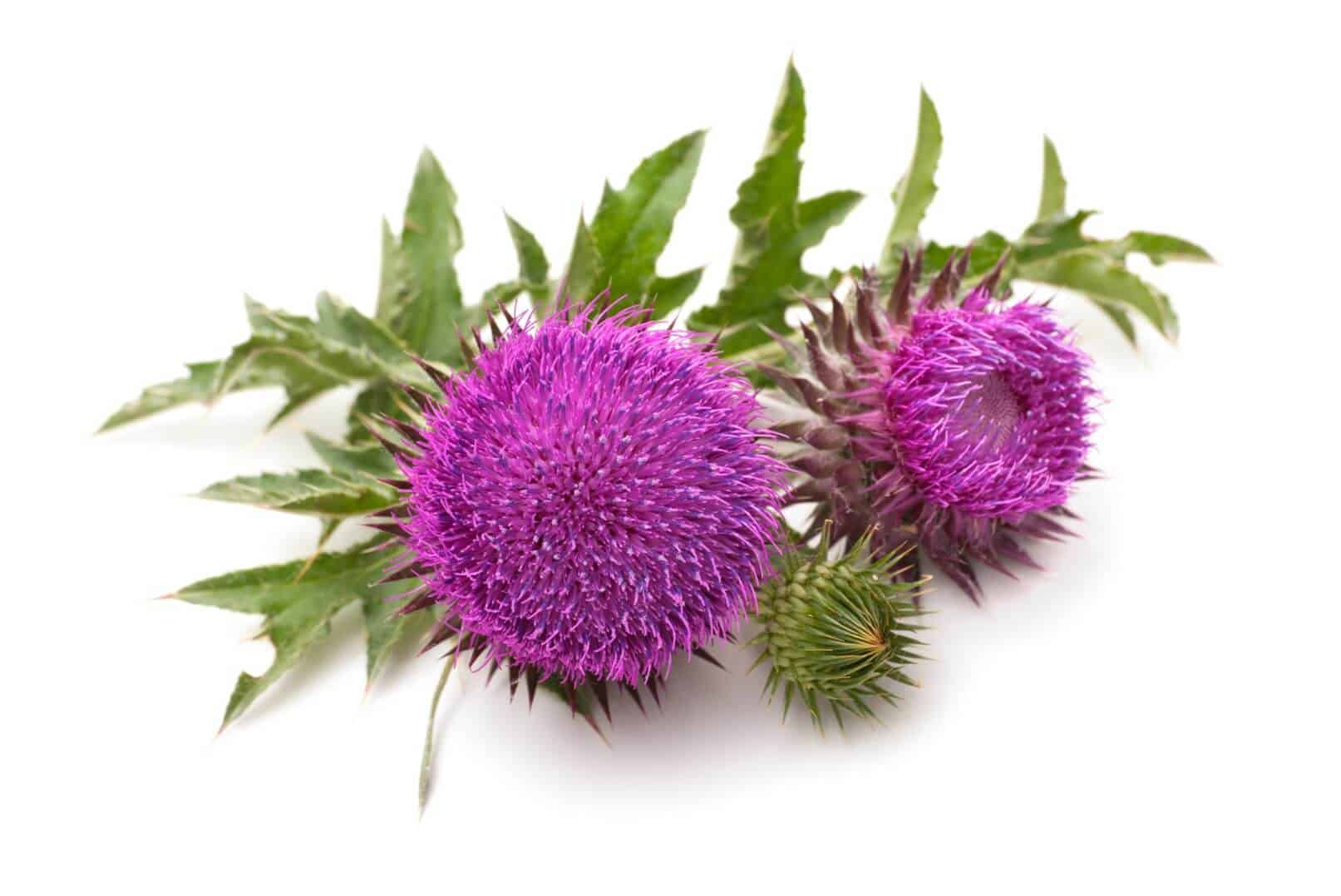 Milk Thistle – Benefits of Silybum (UPDATE: Jun 2018) | 6