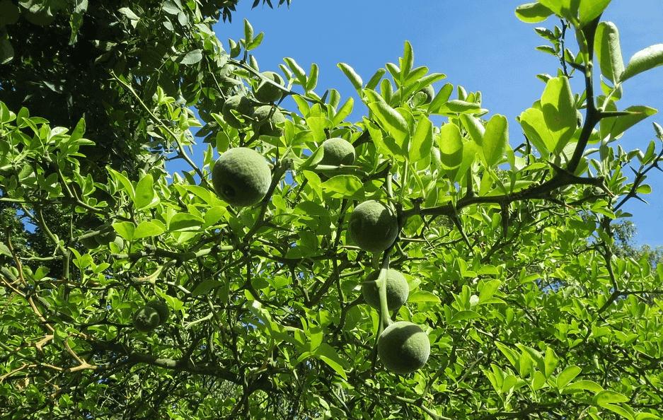 Beyond Tangy Tangerine bioflavonoids