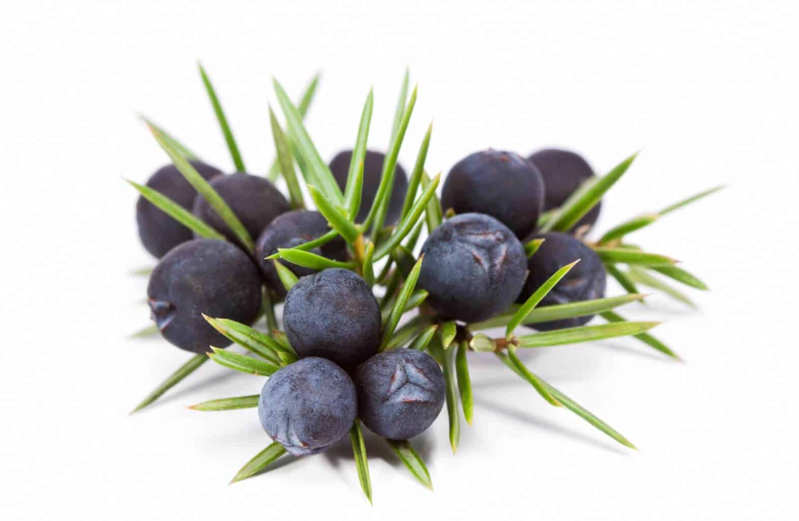 Juniper Berry Benefits Uses Dosage And Side Effects Update Jun 2018 10 Things You Need To Know