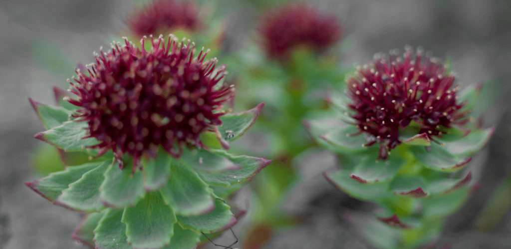 ginseng alternative rhodiola