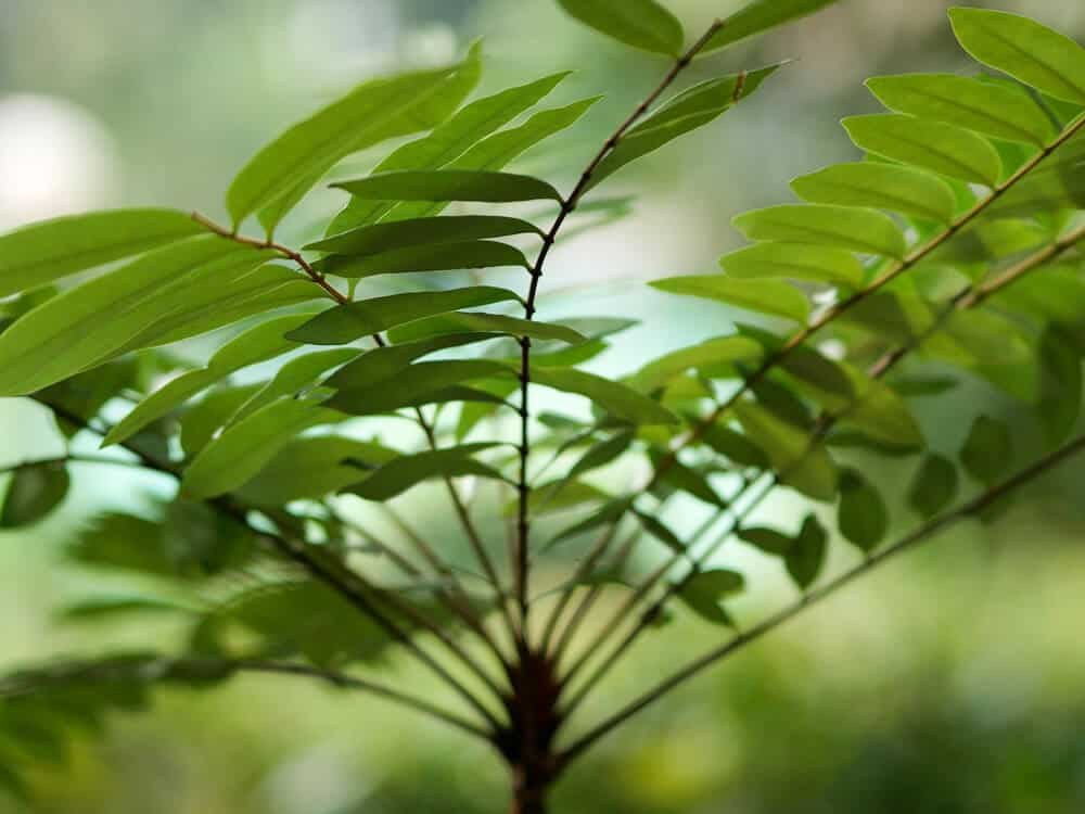 Up close picture of plant tongkat ali